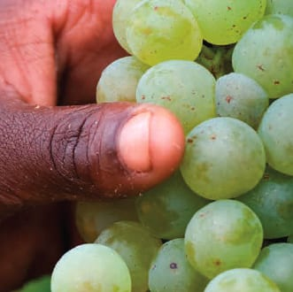 Wine harvest promising despite challenging season