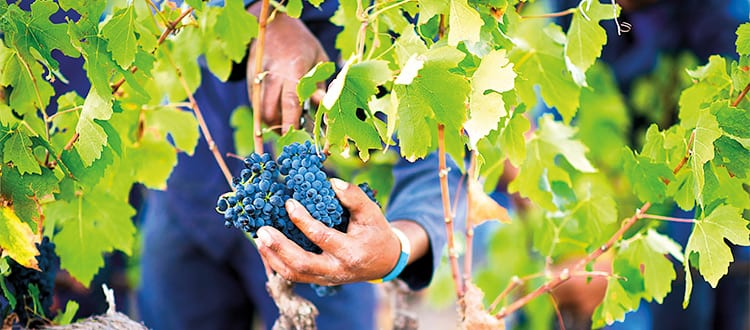 SA wine grape harvest half way – quality looks promising