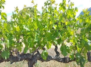 Wine industry adapts to drought