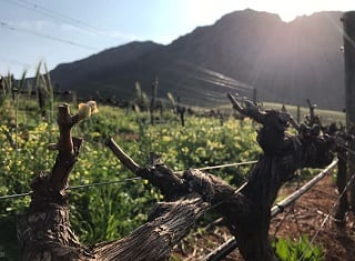Extend your vineyard's lifetime with these tips