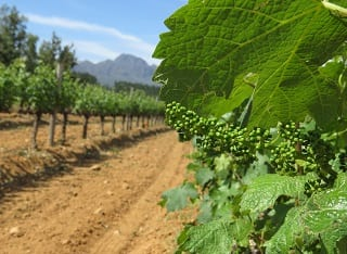 Wine grape vineyards on the road to recovery after debilitating drought