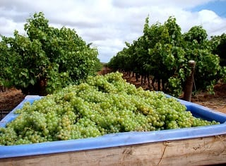 South African Wine: Harvest Report 2013