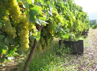 South African Wine: Harvest Report 2014