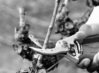 Perfect your pruning skills with Vinpro courses