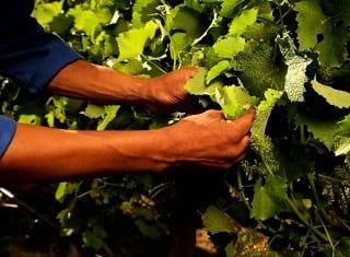 Vinpro trains record number of vineyard workers