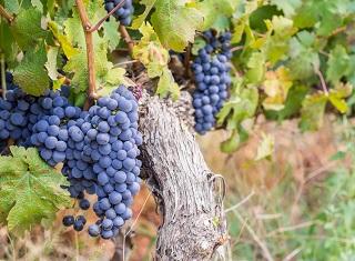 Winetech Vinpro webinars: Wine producers press on