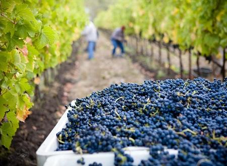 SA wine grape harvest nearing its end